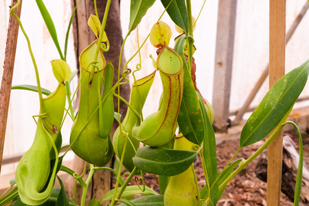 nepenthes: closeup of nepenthes.