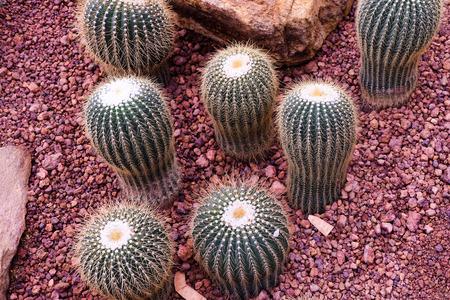 Cactuss in a Cactus garden background.