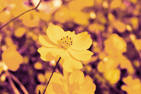Yellow cosmos flowers in garden