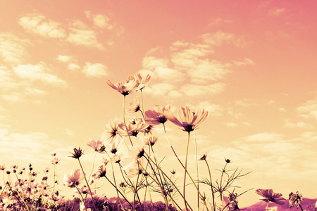 pink cosmos flowers with sky. Banque d'images - 107848846