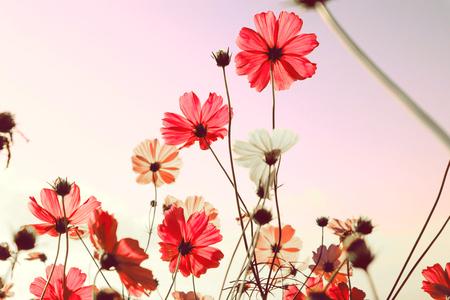 ピンクのコスモスの花が咲き、夕日の背景を持つ山の風景。