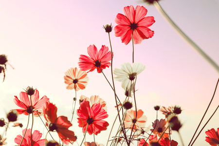 Górski krajobraz z różowymi kwiatami kosmosu w rozkwicie na tle zachodu słońca.