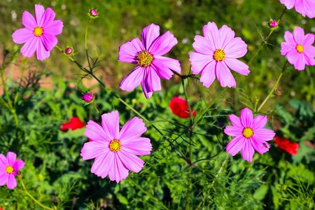 Summer flowers pink cosmos flowers with summer Cosmos flowers blooming at garden.