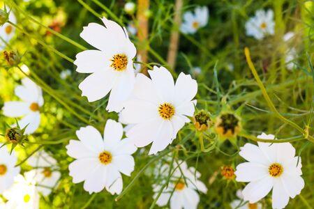 White Cosmos Flower Garden Blooming in Spring Season. Stock Photo