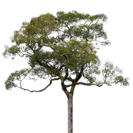 흰색 배경에 고립 된 큰 나무의 왕관