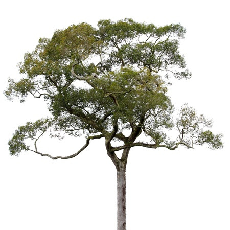 Crown of big tree isolated on white background