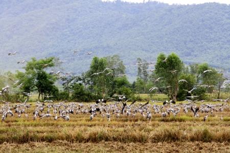 oscitans: asian openbills on the farm Stock Photo