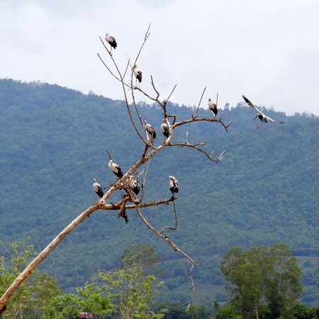 Asian openbilsl on dead tree in Thailand photo