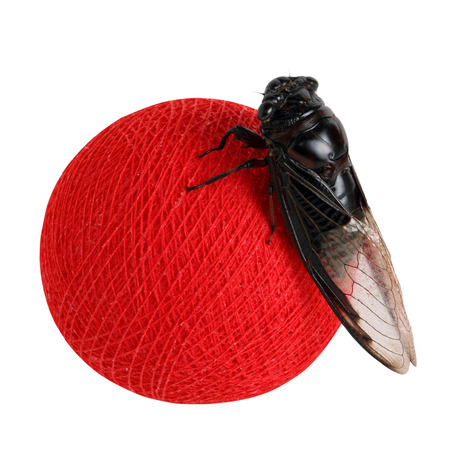 cotton ball: Cicada on red cotton ball  isolate on white background