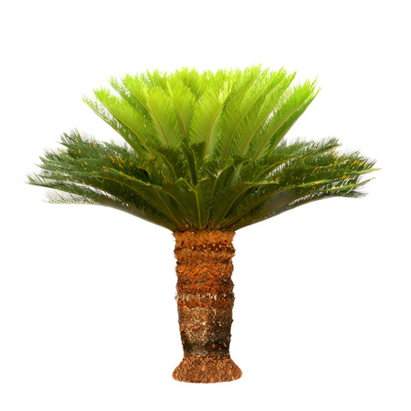 cycas: a cycads with white background