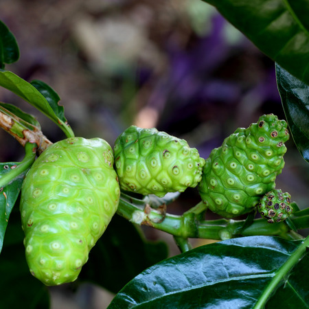 natural noni Indian Mulberry fruits photo