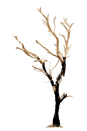 dead tree: A dead tree isolated on white background Stock Photo