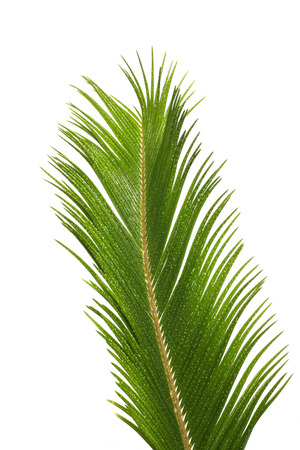 cycas:  A close up of the Cycas Revoluta, sago palm with rain drops hanging on the leaves