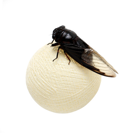 cotton ball: Cicada on white cotton ball  isolate on white background Stock Photo