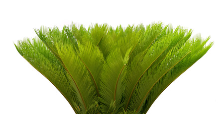 cycadaceae: cycas leaves on white background