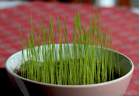 Germinating grain in a Ceramic cup on dining table Stock Photo - 26401278