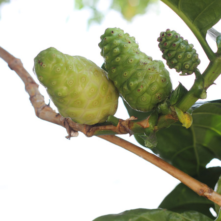 three generation of natural noni Indian Mulberry fruits photo
