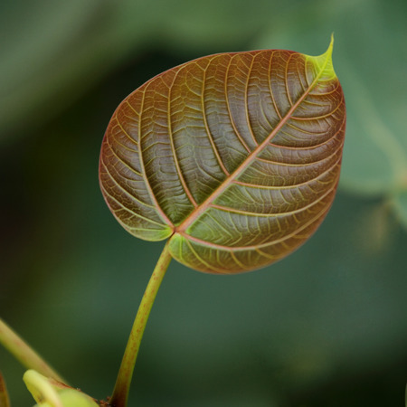 close up of young peepal leaf photo