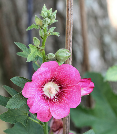 red hibiscus flower or patived hibiscus, patived hibiscus is a beautiful flower in thailand