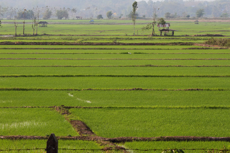 Rice farm and Young Rice