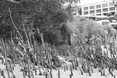 mangrove forest: mangrove forest at Pattaya beach, Thailand Stock Photo
