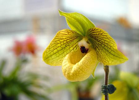 lady's slipper: Yellow Ladys Slipper Orchid Stock Photo
