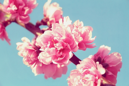 ion: Sakura, Pink cherry Blossom ion blue sky background Stock Photo