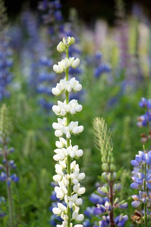 White Bluebonnet flower (Lupinus texensis) in garden