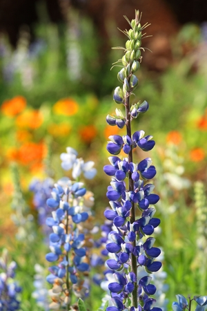 bluebonnet: Texas Bluebonnet flower (Lupinus texensis) with colorful background Stock Photo