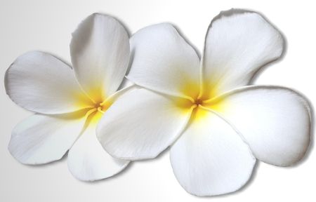 tahitian: White yellow plumeria flowers isolated on white background