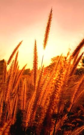 Purple fountain grass in golden sunset, Pennisetum setaceum
