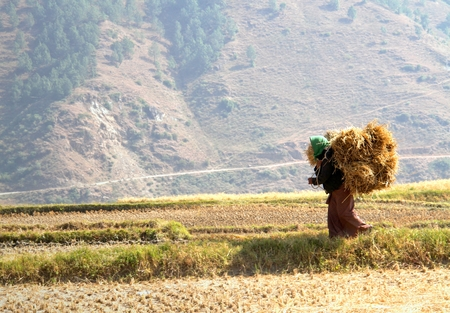 Woman carrying bundles of rice straws walking in the rice field at Bhutan