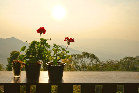 Red zonal geranium or Pelargonium flower pots on  wooden table with beautiful sunset background Stock Photo