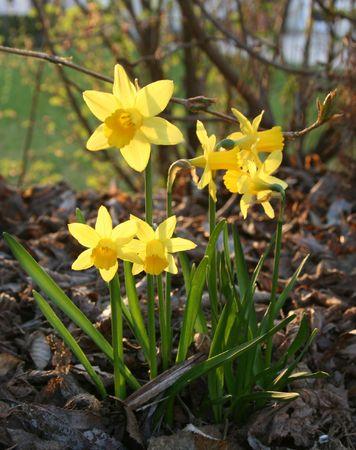 Six daffodils in full bloom photo