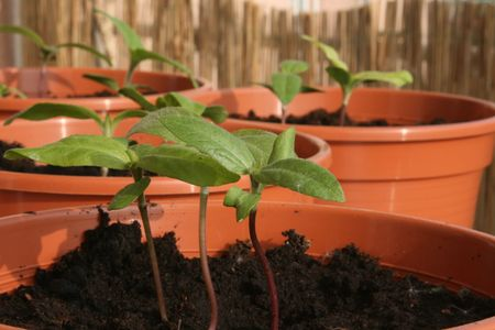 Row of young sunflower plants in pots