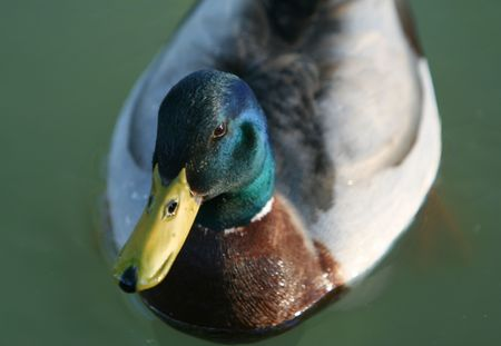 A close/up view of a male mallard's head Stock Photo - 4964571