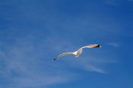 A seagull in full flight Stock Photo