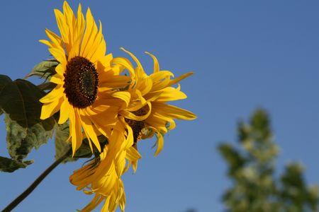 Sunflowers against a blue summer sky