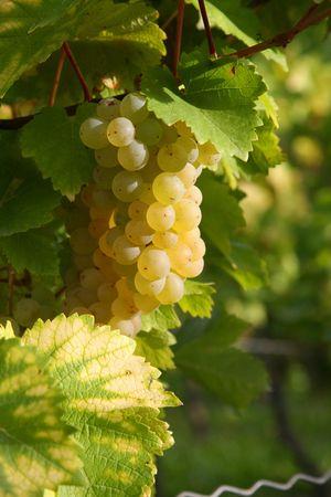 Ripe grapes in a vineyard in autumn