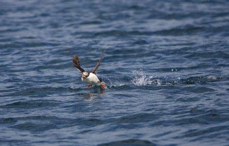 A Puffin Taking Off over the Sea photo