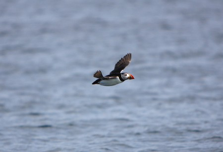 A Puffin in Flight over the Sea