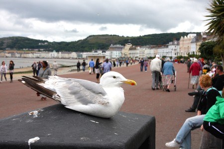 Seagull at the Seafront in Llandudno, North Wales, UK Stock Photo - 7678715