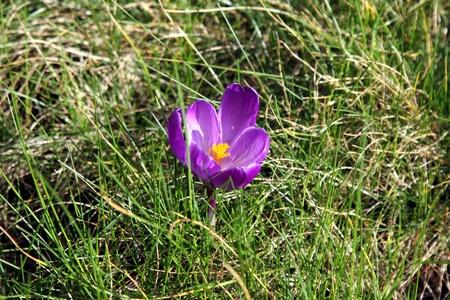 croci: Violet Crocus in full Sunshine