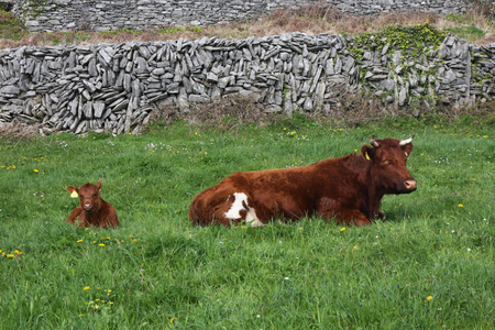 Red and Brown Cow with a Calf Lying in a Field