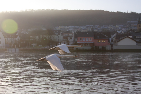 Two Swans flying over the Moselle river, Luxembourg Stock Photo