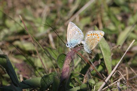 Two Baton Blue Butterflies Mating in Autumn
