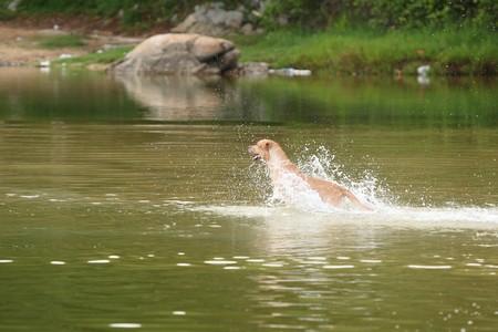 Dog swimming and  photo