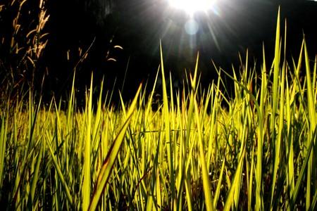 back lighting: High green lush grass, back lighting  Stock Photo