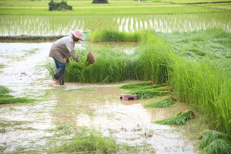 Rice farming. photo