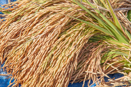 bundle of rice on the rice field